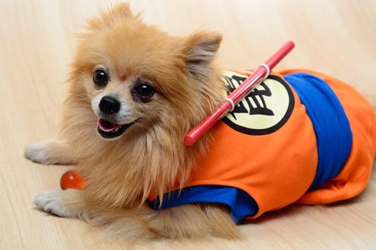 Pomeranian Halloween Costume